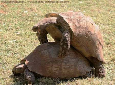 tortoise_mating_sdnr-0310